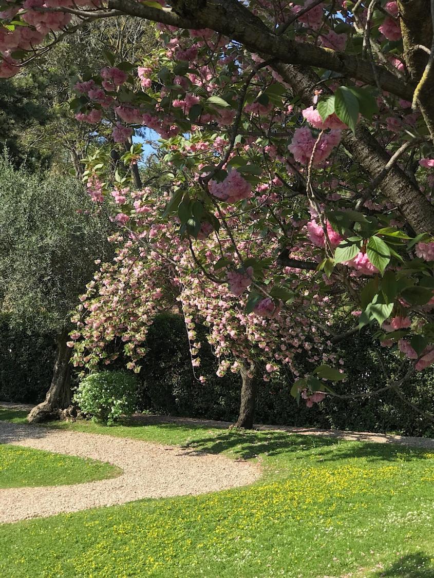Cerezo japonés junto al olivo italiano, en símbolo de la amistad entre ambos países